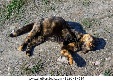 Beautiful tortoiseshell cat, pregnant, with a big belly, lying on the ground. Concept- sterilization of animals, care for Pets. #1320717614
