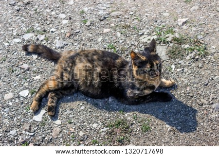 Beautiful tortoiseshell cat, pregnant, with a big belly, lying on the ground. Concept- sterilization of animals, care for Pets. #1320717698