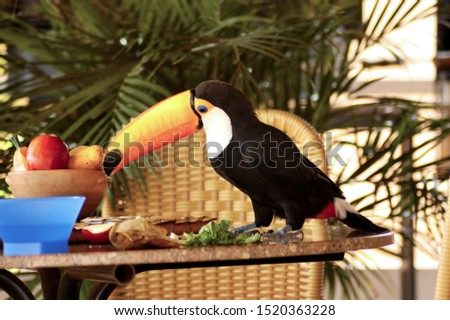 beautiful toucan having fun on the porch