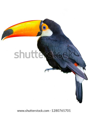 Beautiful toucan isolated on a white background
