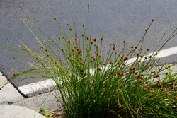 Beautiful tranquil scenic view of the reeds in the landscape of the street in Bunbury, Western Australia, planted in one of the drains.