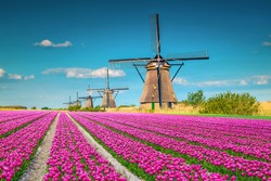 Beautiful travel and touristic destination. Fantastic colorful tulip fields with old dutch windmills, Kinderdijk, Netherlands, Europe