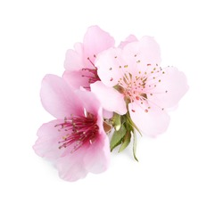Beautiful tree blossom isolated on white. Spring season
