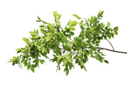 Beautiful tree branches with green leaves on white background