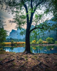 Beautiful tree by Merced River during fall colors at Yosemite National Park. Vertical image, no people.