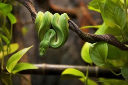 Beautiful tree green snake coiled on a branch.