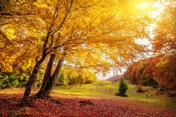 beautiful tree with colorful leaves in sunny autumn forest. natural background