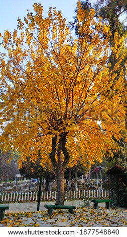 Beautiful tree with yellow leaves in autumn Stok fotoğraf ©