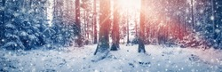 Beautiful trees are in the winter forest in snowfall on a sunny day. Fluffy snow is lying on fragile spruce branches. Snowflacks are falling and sticking on the trunks.