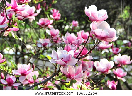 Free photos bloomy magnolia tree with big white flowers avopix beautiful trees in bloom with beautiful big flowers 136572254 mightylinksfo