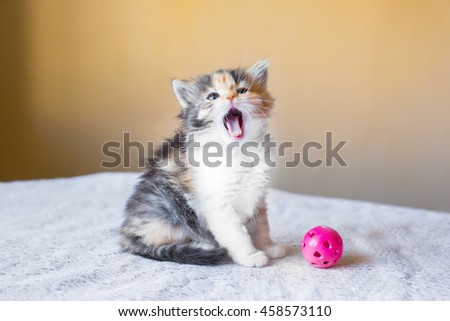 beautiful tricolor kitten with an open mouth. yawns. age 3 months #458573110