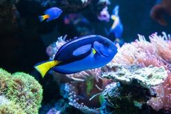 beautiful tropical blue fish and clownfish in aquarium.Color temperature blue.selective focus