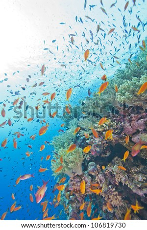 Beautiful tropical coral reef wall in the sun with shoals of anthias fish