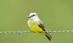 Beautiful Tropical Kingbird (Tyrannus melancholicus) perched on a barbedwire line
