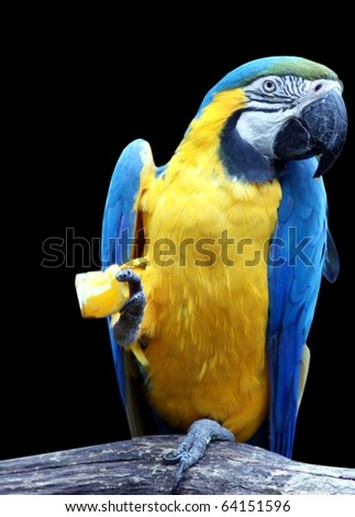 beautiful tropical parrot closeup, isolated on black background