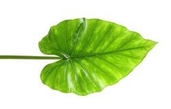 Beautiful tropical Taro plant leaf on white background