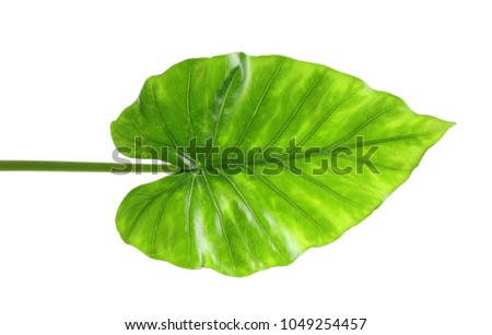 Beautiful tropical Taro plant leaf on white background