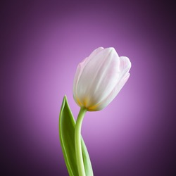 beautiful tulip flower on purple background