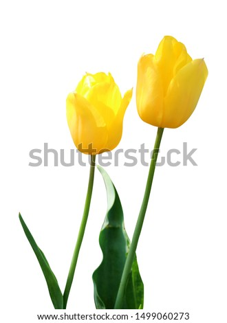 Beautiful tulip flowers isolated on white background. Natural floral background. Floral design element #1499060273