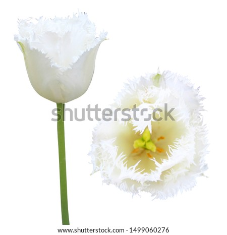 Beautiful tulip flowers isolated on white background. Natural floral background. Floral design element #1499060276