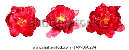 Beautiful tulip flowers isolated on white background. Natural floral background. Floral design element #1499060294