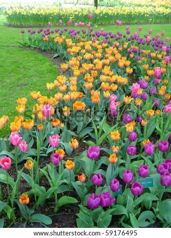 Beautiful Tulips At Keukenhof Gardens Holland Stock Photo