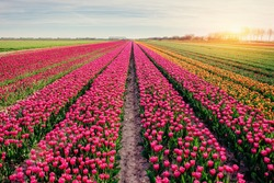 Beautiful tulips field in the Netherlands. Holland