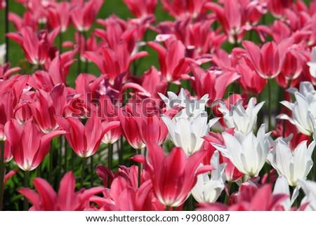 beautiful tulips in sunlight