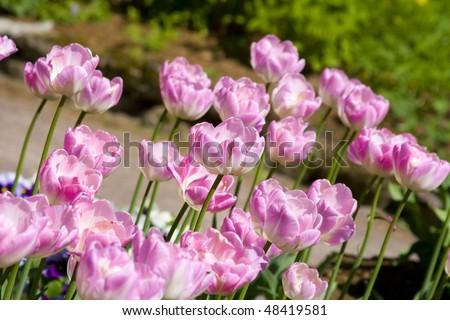 stock-photo-beautiful-tulips-in-the-botanic-garden-48419581.jpg