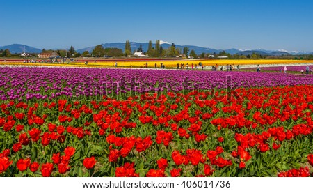 Beautiful tulips in the spring. Variety of spring flowers blooming in beautiful garden.  #406014736