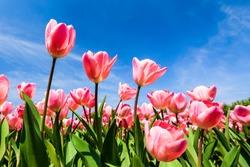 Beautiful tulips on blue sky background