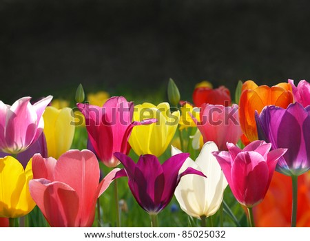 Beautiful tulips on the black background