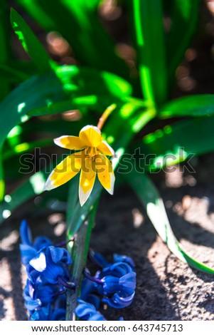 beautiful tulps #643745713