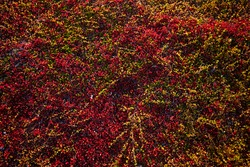 Beautiful tundra carpet of various mosses of bright colors in autumn. Texture.