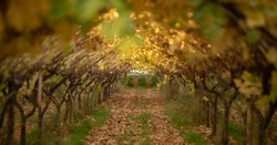 Beautiful tunnel with autumn leaves, wine arch.