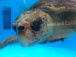Beautiful turtle in a tank for it;s recovery in florida