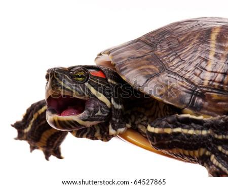 Beautiful turtle isolated on white background