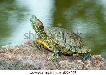 Beautiful turtle on the stone
