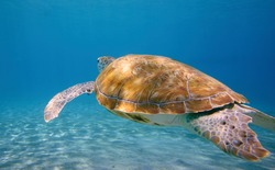 Beautiful Turtle Swimming In The Caribbean Sea. Blue Water.