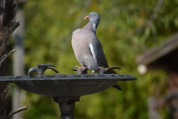 beautiful turtledove in my garden