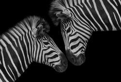 Beautiful Two Couple Zebra Closeup Face