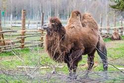 Beautiful two humps camel in a farm or zoo. Mongolian camel or domestic Bactrian camel, large even-toed ungulate native to the steppes of Central Asia
