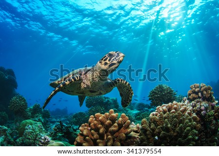 Beautiful Underwater Postcard. Maldivian Sea Turtle Floating Up And Over Coral reef. Loggerhead in wild nature habitat
