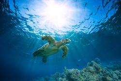 Beautiful Underwater Scenery with Sunbeams Postcard. Maldivian Sea Turtle Floating Up And Over Coral reef. Loggerhead in wild nature habitat