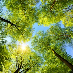 Beautiful upwards view to the treetops with fresh green foliage, the sun and clear blue sky, square format