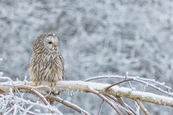 beautiful ural owl in snow, winter scene with ural owl, unique owl portrait,  winter scenery with ural owl