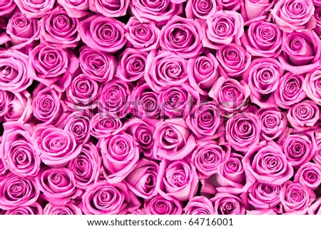 beautiful valentine pink rose flowers