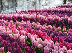 Beautiful varicolored hyacinths near pond. Nature spring background.