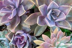 Beautiful varieties of succulent plants