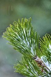 Beautiful vertical macro view of pine needles covered with snow. Fir branch closeup. Soft and selective focus. Ticknock National Forest Park, Co. Dublin, Ireland